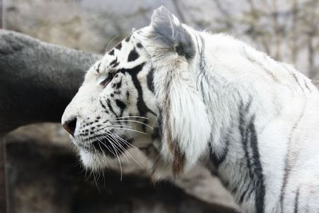 White albino tiger close-up view from one side photo