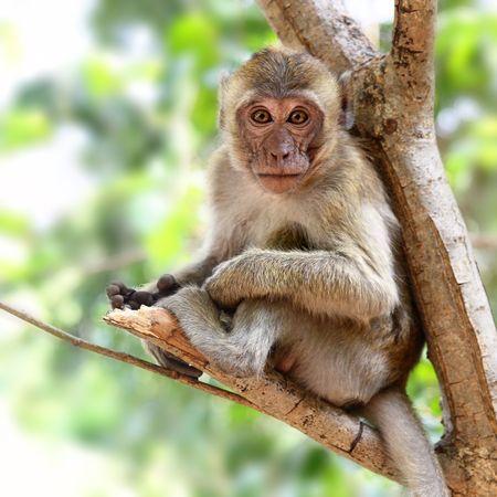 Monkey (Macaque rhesus) sitting on the tree photo