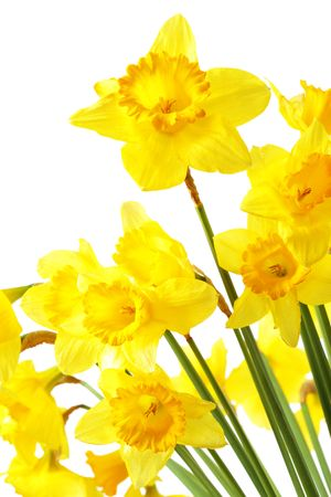 Yellow daffodils isolated over the white background photo