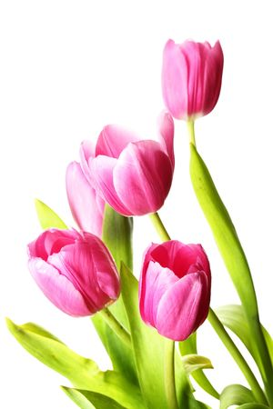 Bunch of pink tulips isolated over white background