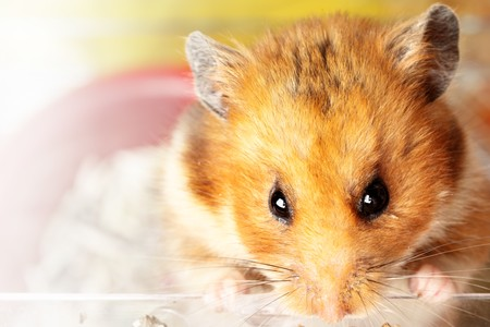 Muzzle of red hamster close up Stock Photo - 6968808