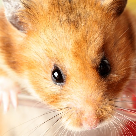 muzzle: Muzzle of red hamster close up