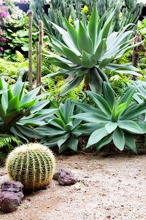 Golden barrel cactus and agava at tropical garden photo