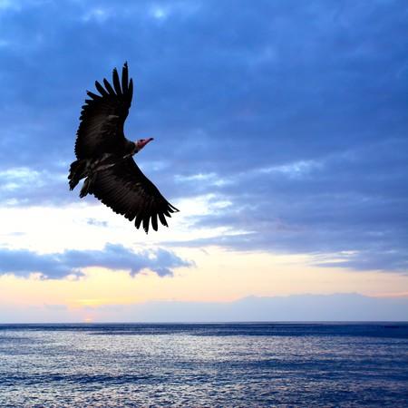 Big condor flying over sea at sundown photo