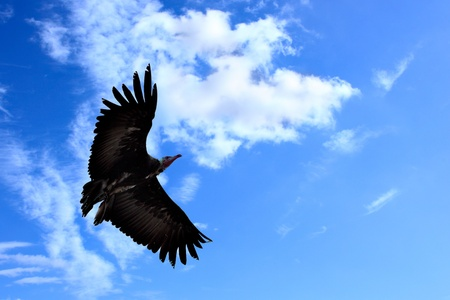 American condor flying in the blue sky  photo