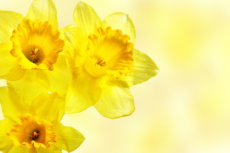 Three yellow narcissi close-up Stock Photo - 9284631