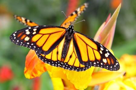 plexippus: Monarch Butterfly (Danaus plexippus) on flower close-up Stock Photo