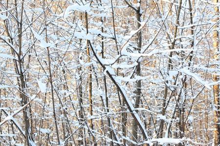 snowbound: Snow-bound brunches of winter forest.