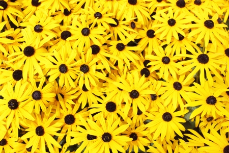 Yellow daisies (Rudbeckia) close-up photo