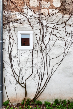 comfortableness: Ivy on the wall of a house