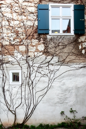 comfortableness: Ivy on a wall of a house