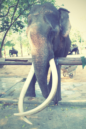 Old elephant with long tusks. Retro style filtred image.