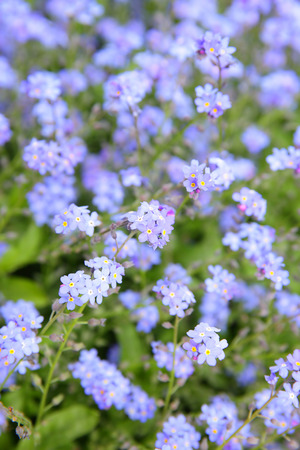 grassplot: Forget-me-not flowers (Myosotis sylvatica) in a garden. Shallow DOF!