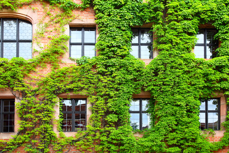 overgrown: Old house overgrown with green ivy, Germany