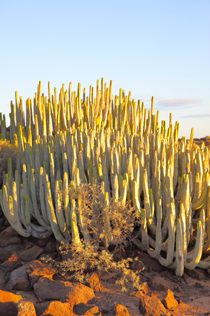 exotics: The Canary Island spurge (Euphorbia canariensis) at sundown Tenerife Island, Canaries