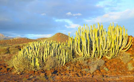 The Canary Island spurge (Euphorbia canariensis) at sundown in Tenerife, Canary Islands.