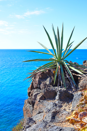 Aloe vera plant and sea in the background, Tenerife, Canary Islands Stock Photo