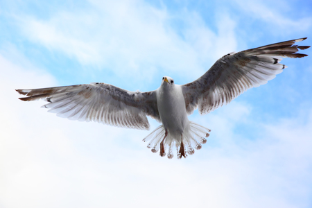 Flying sea-gull in the sky close-up Stock Photo - 83524267