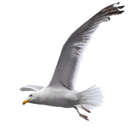 Flying sea gull isolated on the white background Stock Photo - 84782908