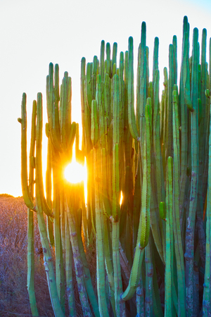 The Canary Island spurge (Euphorbia canariensis) at sundown in Tenerife Island, The Canaries Reklamní fotografie - 92127205