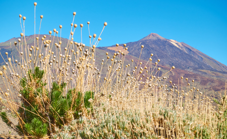 Endemic plants (Cheirolophus teydis Teide) in highland of Tenerife, Canary Islands