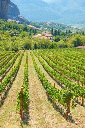 Panoramic view of vineyard - Rural landscpe