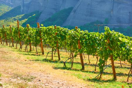 Vineyard with ripe grapes in countryside on sunny summer day, Greece 写真素材