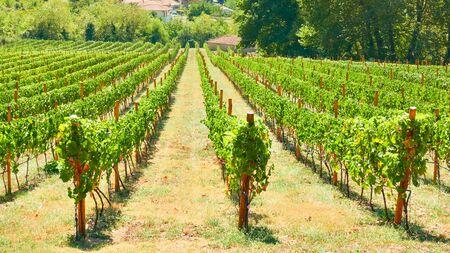 Vineyard in Thessaly on summer sunny day, Greece - Greek rural landscpe