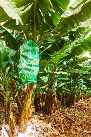 Banana plantation with wrapped bananas