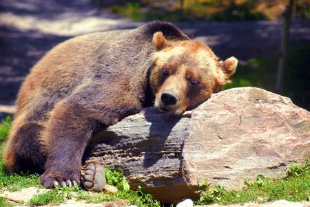 Grizzly bear sleeping on a rock, on a nice sunny day