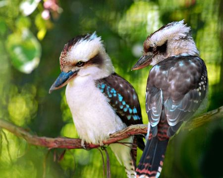 Two colorful kookaburra birds sitting on a branch Stock Photo - 836837