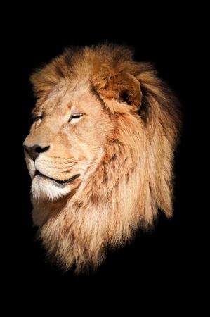 Lion black background Stock Photo - 12844001