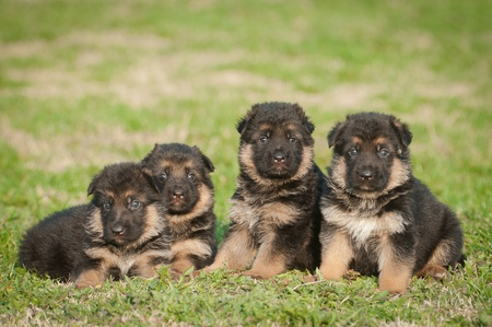 german shepherd on the grass: German shepherd puppies Stock Photo