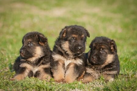 german shepherd puppy: German shepherd puppies Stock Photo