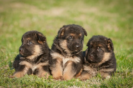 german shepherd dog: German shepherd puppies Stock Photo