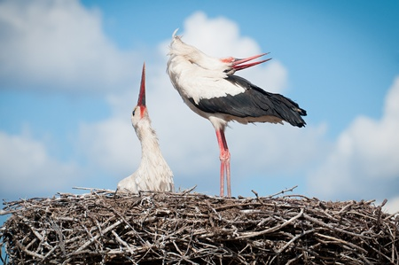 two storks sitting in a nest Stock Photo - 13254072