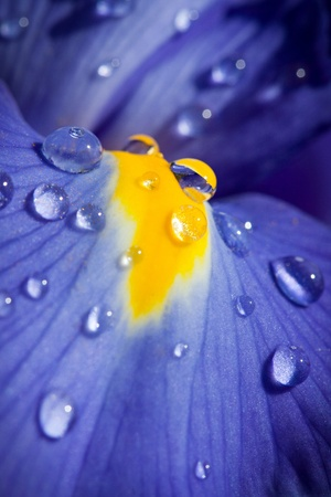 Beautiful blue iris with drops closeup shot photo