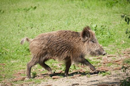 Wildschwein: Wildschwein Lizenzfreie Bilder