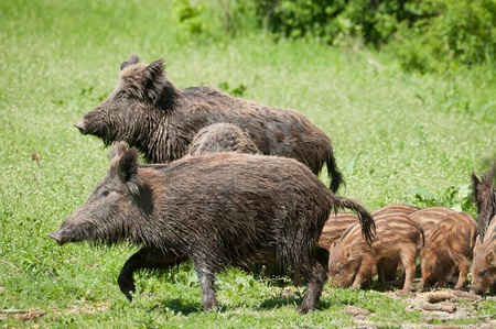 Wild boar with piglets Stock Photo