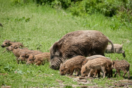 Wild boar with piglets photo