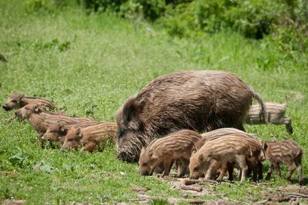 eber: Wildschwein mit Ferkel Lizenzfreie Bilder