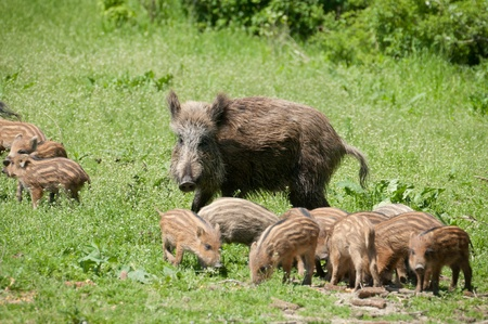 omnivores: Wild boar with piglets Stock Photo