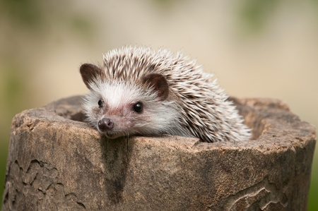 hedgehog in the wood photo