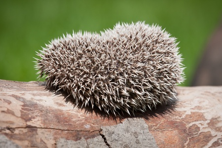 hedgehog in the wood Stock Photo