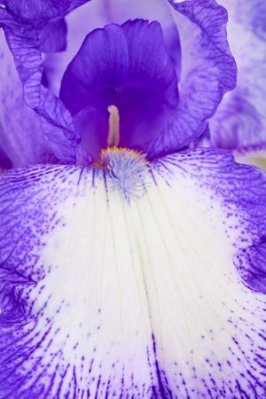 Iris flower macro Stock Photo - 13524491