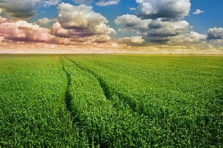 Green wheat field photo