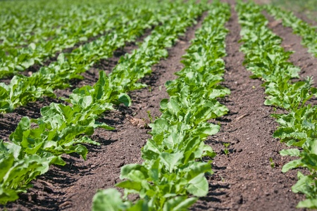 beet: Sugar beet field Stock Photo