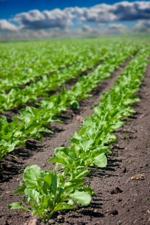 sugar land: Beet field