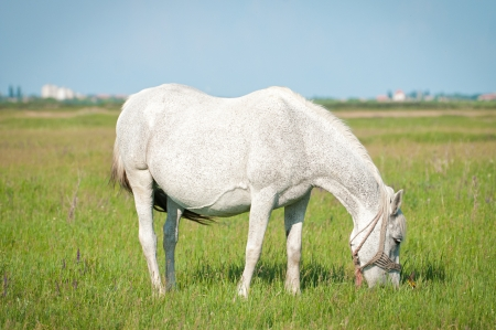 beautiful white horse grazing on a ranch Stock Photo - 13716593