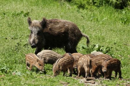 quadruped: Wild boar family
